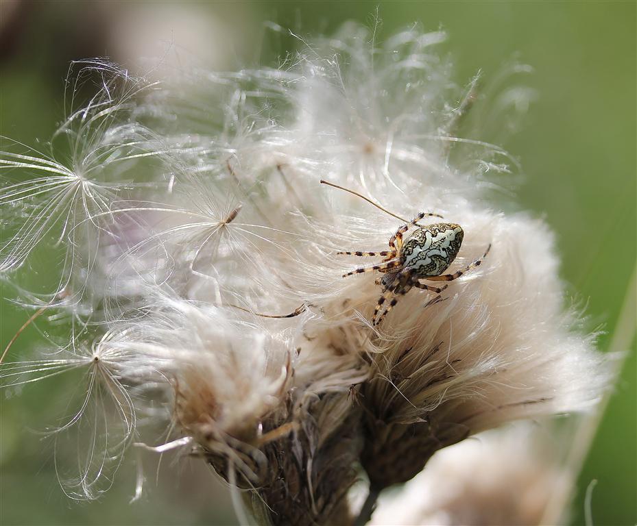 Araignées (3) (Medium)